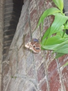 Another beautiful butterfly in the Butterfly House.